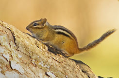 Eastern Chipmunk Stock Photos
