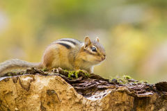 The Eastern Chipmunk Stock Photos