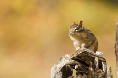 Eastern Chipmunk Royalty Free Stock Photo