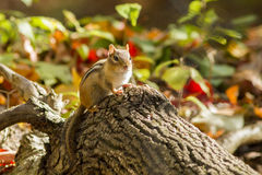 The Eastern Chipmunk Stock Photo