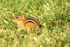 Eastern Chipmunk (Tamias striatus) Stock Image