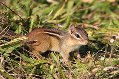 Eastern Chipmunk (Tamias striatus) Stock Images