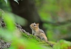 Eastern chipmunk - Tamias striatus. Portrait of eastern chipmunk Tamias striatus Stock Images