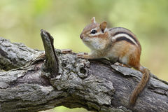 Eastern Chipmunk Royalty Free Stock Image
