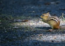 Eastern Chipmunk Tamias striatus. Spotted outdoors in New York Stock Photography