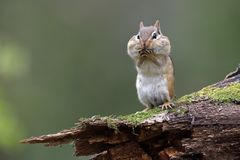 Eastern Chipmunk standing on a mossy log with its cheek pouches
