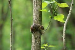 Eastern chipmunk (Tamias (Tamias) striatus). A eastern chipmunk (Tamias (Tamias) striatus) in Ohio Stock Image