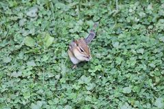Chipmunk, Eastern Tamias striatus. Eastern Chipmunk  Tamius striatus in the grass looking for seeds Stock Photography