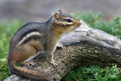 Eastern Chipmunk (Tiamias striatus) Stock Image