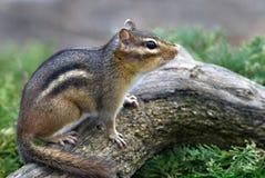 Eastern Chipmunk (Tiamias striatus) stock image