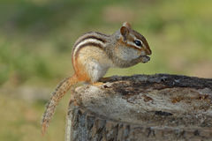 Eastern Chipmunk on a Tree Stump at a Campsite Stock Photo