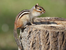 Eastern Chipmunk on a Tree Stump at a Campsite Royalty Free Stock Photography