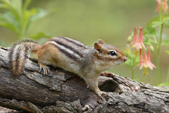 Eastern Chipmunk and Wild Columbine. Eastern chipmunk (Tamias striatus) on a log next to a patch of Wild Columbine (Aquilegia canadensis) - Pinery Provincial Royalty Free Stock Photos