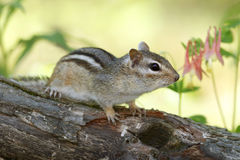 Eastern Chipmunk and Wild Columbine Stock Photography