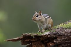 Eastern Chipmunk With Its Cheek Pouches Full Of Food Sits On A M Stock Image