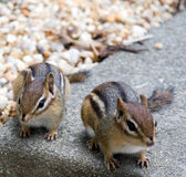 Eastern Chipmunks. Two adorable Eastern Chipmunks. Photographed in a backyard in Virginia, USA Royalty Free Stock Image