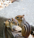 Eastern Chipmunks. Pair of Eastern Chipmunks sitting on some backyard landscaping edging in Virginia, USA Royalty Free Stock Images