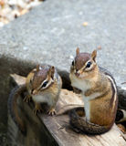 Eastern Chipmunks. Two cute little Eastern Chipmunks sitting on some landscaping edging in a backyard in Virginia, USA Stock Photo
