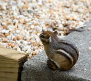 Eastern Chipmunks Stock Image