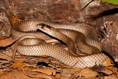 Eastern Coachwhip(Masticophis flagellum flagellum) Royalty Free Stock Photos