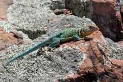 Eastern Collared Lizard. Photograph of a brilliantly colored Eastern Collared Lizard, Crotaphytus collaris, basking on a rock outcropping in a Missouri glade on stock image