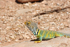 Eastern Collared Lizard Stock Images