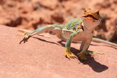 Eastern Collared Lizard Royalty Free Stock Photography
