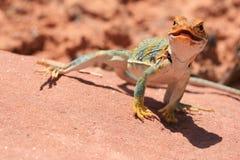 Eastern Collared Lizard. Alert and vigilant posture of Eastern Collared Lizard (yellow-headed subspecies), Crotaphytus collaris, Canyonlands, Utah, USA Royalty Free Stock Photography