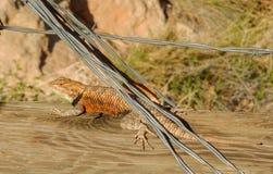 Desert Spiny Lizard Alert stock photography