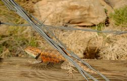 Desert Spiny Lizard Basking royalty free stock photo