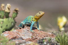 Eastern collared lizard with cactus. In background Royalty Free Stock Photography