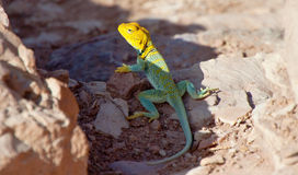 Eastern Collared Lizard close up Royalty Free Stock Photo