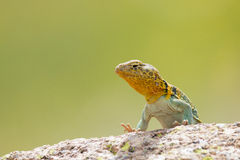 Eastern collared lizard in colored background Royalty Free Stock Photo