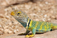 Eastern Collared Lizard-Crotaphytus Collaris Royalty Free Stock Images