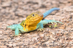 Eastern collared lizard Royalty Free Stock Photos