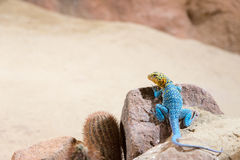 Eastern collared lizard (lizard with a blue body color and a yel Royalty Free Stock Images