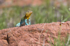 Eastern collared lizard on red rock Stock Photos
