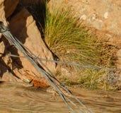 Desert Spiny Lizard Sunning Itself stock photo