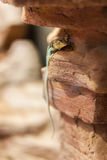 Eastern collared lizard stock photos