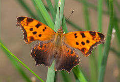 Eastern Comma. A beautiful Eastern Comma spreads its wings in a Wisconsin meadow to gather the heat of the summer sun Stock Images
