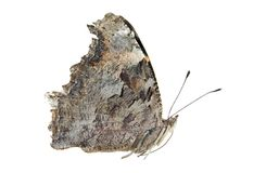 Eastern comma butterfly. Isolated on a white background Stock Image
