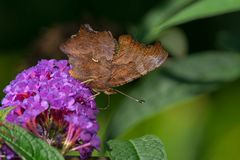Eastern Comma Butterfly Stock Image