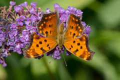 Eastern Comma Butterfly Royalty Free Stock Photo