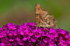 Eastern Comma Butterfly Royalty Free Stock Images