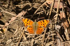 Eastern Comma Butterfly Royalty Free Stock Image