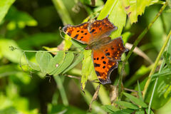 Eastern Comma Butterfly Stock Images