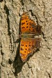 Eastern Comma Butterfly Stock Photos
