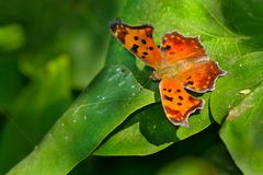 Eastern Comma Butterfly Royalty Free Stock Photography