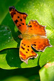 Eastern Comma Butterfly Stock Photo