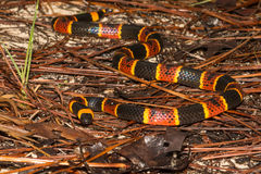 Free Eastern Coral Snake Stock Photography - 90181212